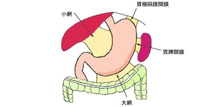 通常の胃の配置