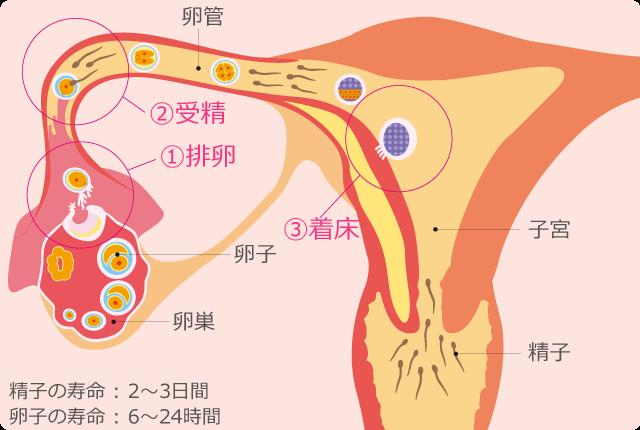 排卵、受精、着床の流れ