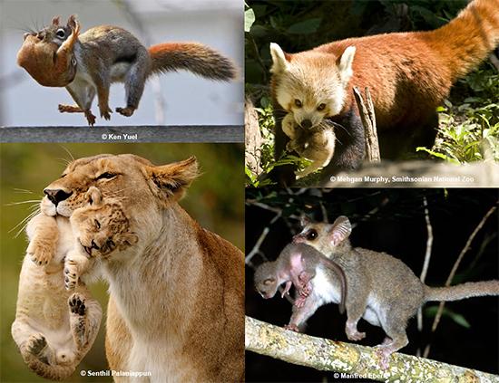 いろいろな哺乳動物における、母親の仔運び行動とその時の仔の輸送反応